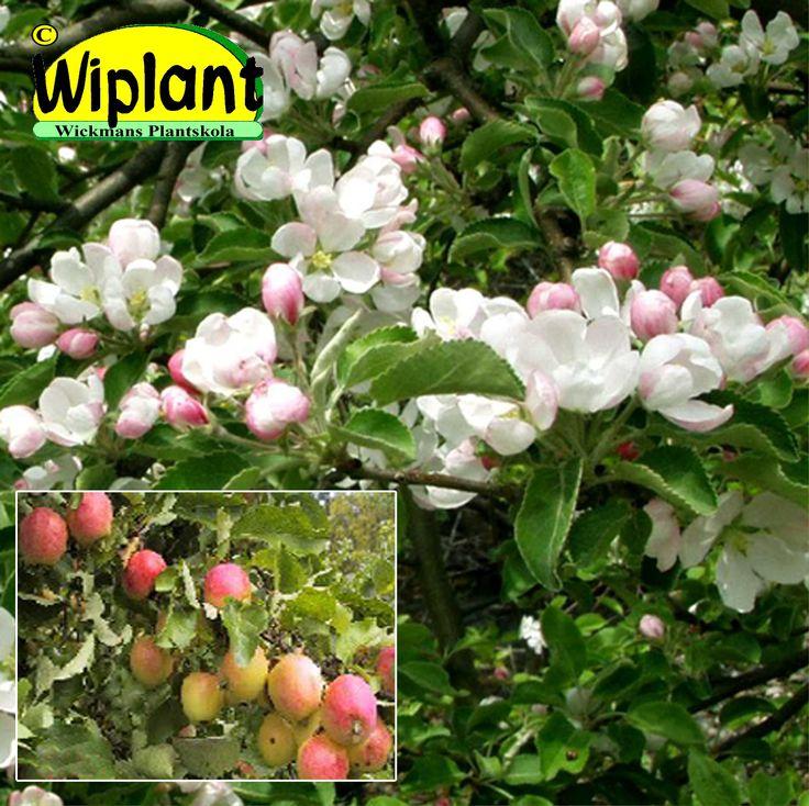 Malus 'Erstaa', Prydnadsäppel. Vita blommor, gulröda frukter, grönt bladverk. Höjd 4-6 m.