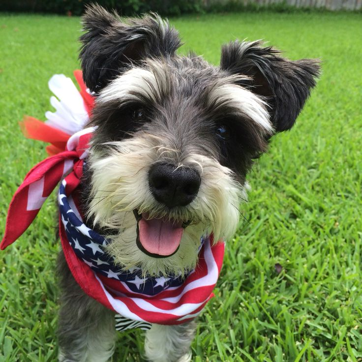 PLEASE VOTE FOR KAYLIE TO BE IN THE DOGTV 2016 CALENDAR! Thanks! http://woobox.com/ab5zza/vote/for/11364675 #dog #calendar #usa #america #schnauzer #texas #july4th #independence #american #dogoutfits #tutu #bandana #blackandwhite #furry #2016 #contest #vote #dallas #cute #animals #pets