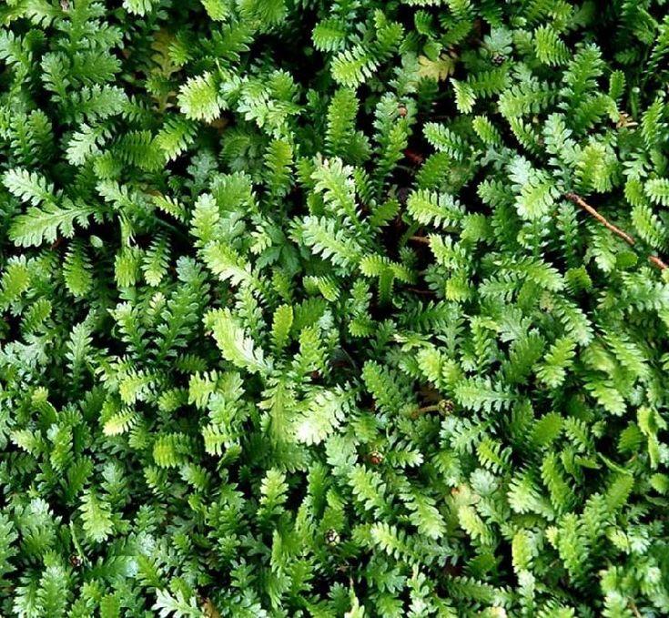 Køb planter online, stort udvalg af bunddække, du kan bl.a. købe Trædebregne…