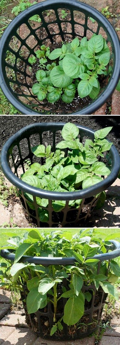 Growing potatoes in a laundry basket