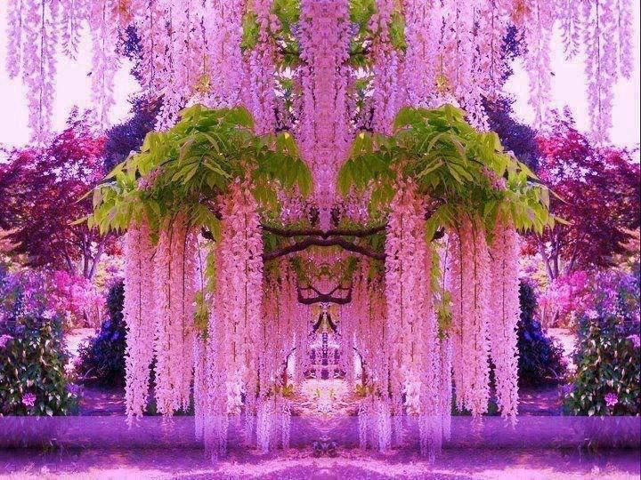 Глициния — удивительной красоты древовидная лиана из семейства Бобовые. Предпочитает субтропический климат, при благоприятных условиях цветет обильно и продолжительно. В южных странах растение являетс...