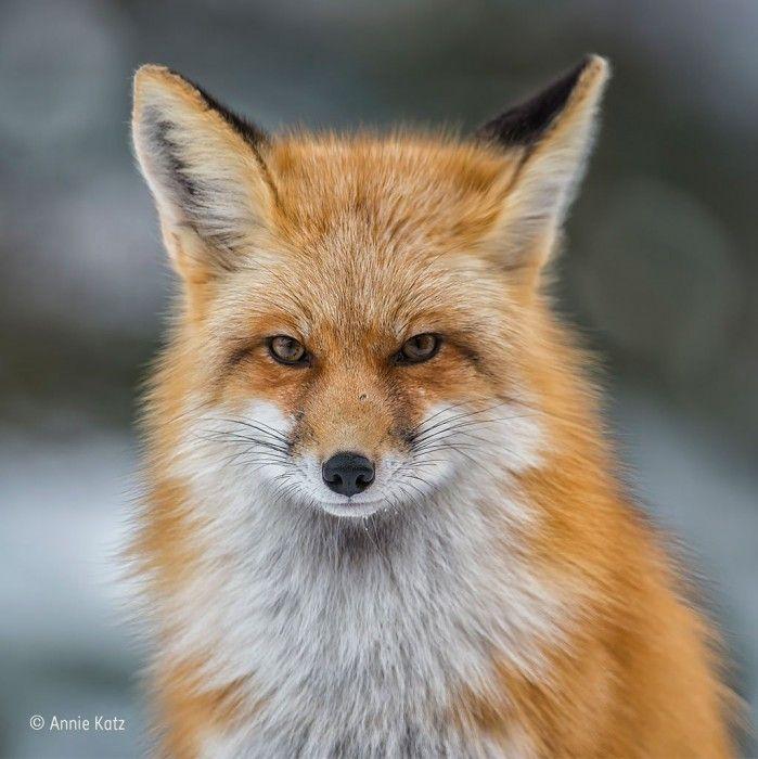 Colorado red της Annie Katz (ΗΠΑ). Ήταν μία παγωμένη μέρα του Ιανουαρίου, όταν η Annie είδε αυτή την κόκκινη αλεπού του Κολοράντο να κυνηγάει. Το φως ήταν τέλειο και φωτογράφισε την αλεπού καθώς την πλησίασε κοιτώντας στο φακό. Φωτογραφία: Annie Katz/2016 Wildlife Photographer of the Year