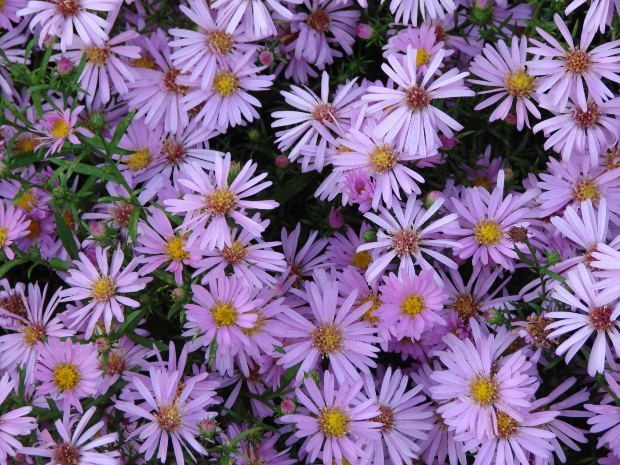 Plant aster to attract bees.