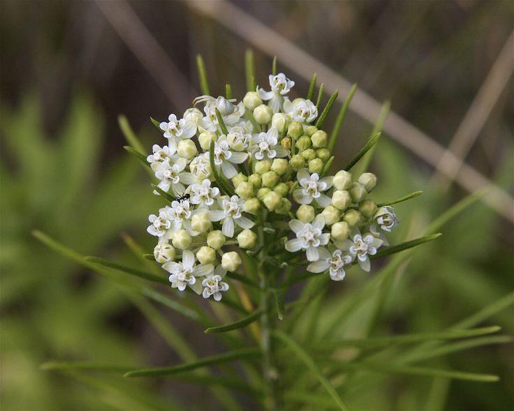 Moderately shade tolerant, dry soil - Whorled Milkweed. Photo Credit: Dan Mullen, Flickr Creative Commons