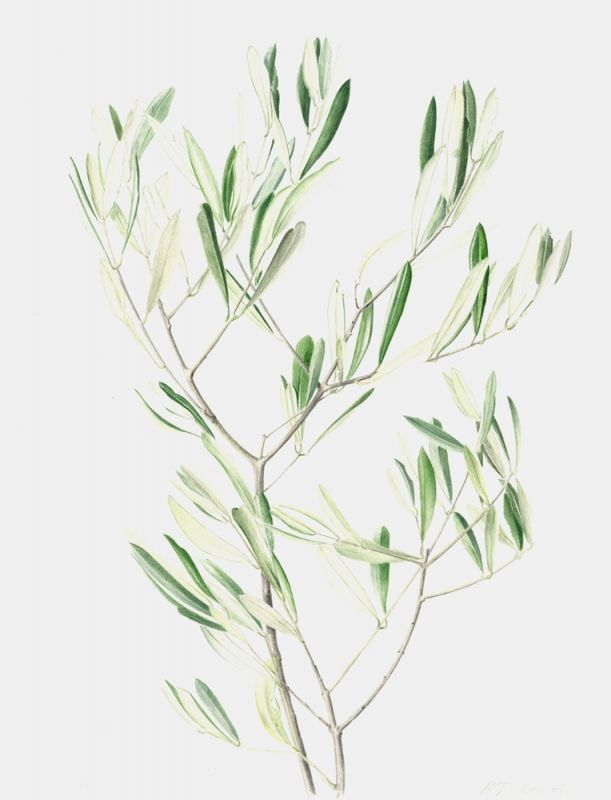 young olive leaves - rebecca john