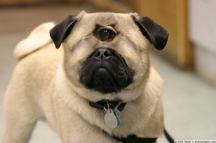 Pug Cyclops Mix Pugs Do The Funniest Things Pinterest