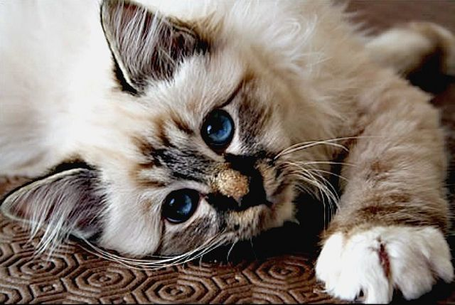 [Feline 101] Birman Kitten