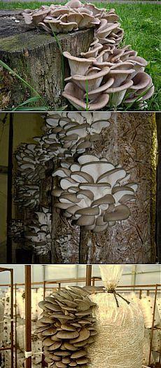 (+1) тема - Вешенки. Выращивание грибов на дачном участке | 6 соток