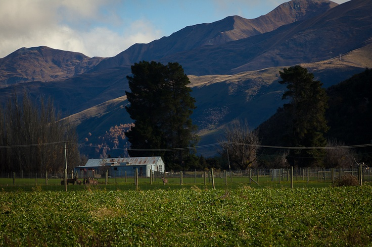 Crops on the farm. Looking towards the Woolshed.