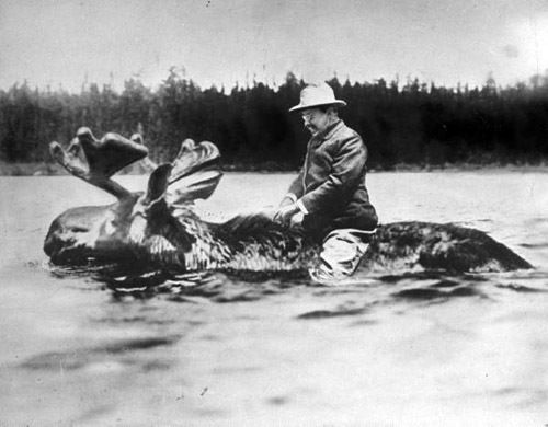 Teddy Roosevelt is riding a moose, this is the greatest picture ever