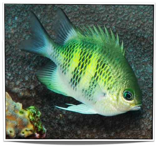 Pet Staghorn Damselfish For Sale - only $6.95 at www.petfishforsale.com - Buy Damselfish Online and many other tropical saltwater fish for sale at Pet Fish For Sale