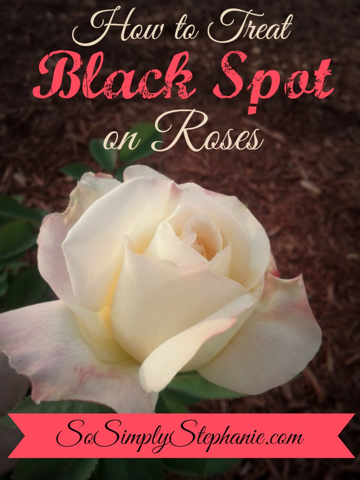 How to Prevent, Treat & Get Rid of Black Spot on Roses | Includes 3 organic solution recipes for treating Black Spot | SoSimplyStephanie.com