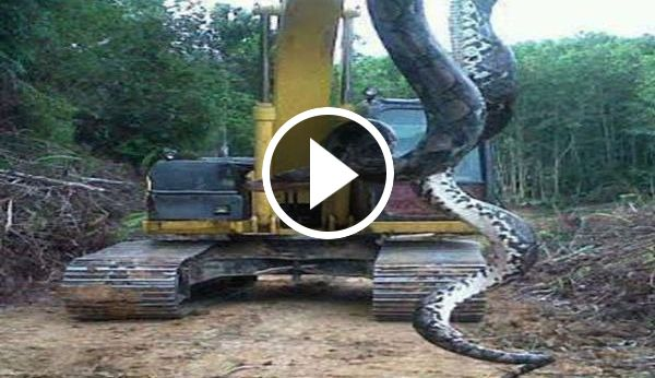 Shocking Video Snake 700 pounds out of a lake in north Carolina