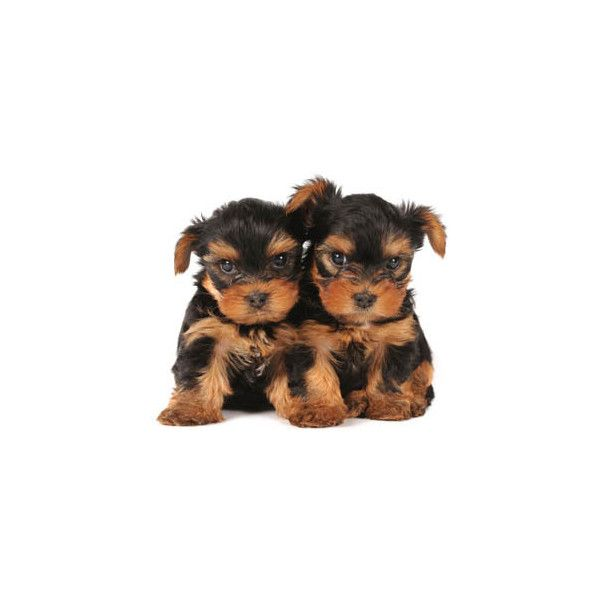 Smallest Toy Dogs : Best toy yorkshire terrier ideas on pinterest