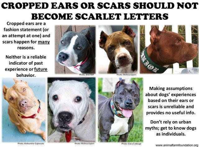 cropped ears are mutilation anyway. And so are chopping off tails. I just won't do it to any animals unless it's because it's a danger to their health. You don't cut your kids ears off, why are you cutting off the dogs ears?Pitti Luv, Dogs Ears, Pitbull Luv, Pitbull Mommy, Pit Bull, Crop Ears, Breeds Discrimination, Pitbull Owners, Hello Pitti