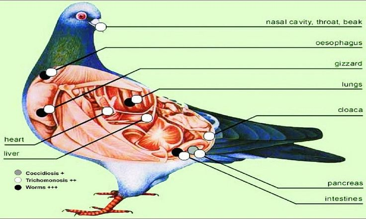 Pigeon diseases symptoms can give clear hints of Pigeon diseases. Normal pigeon sickness can be cure by pigeon medicine but some Pigeon diseases are deadly