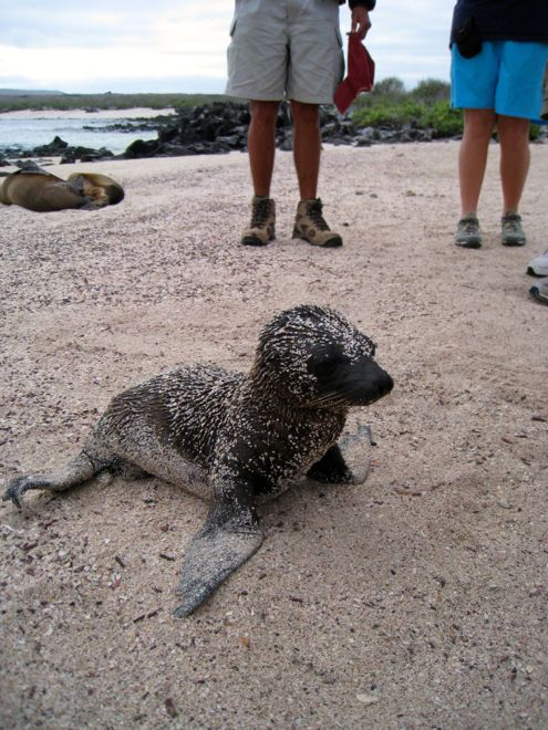 Who's been rolling in the sand? #travel #kids #seal #babyanimals #familyvacations #travelwithkids #familytravel #familyholidays #ecaudor #galapagosislands http://www.suitcasesandstrollers.com/articles/view/the-galapagos-islands?l=s