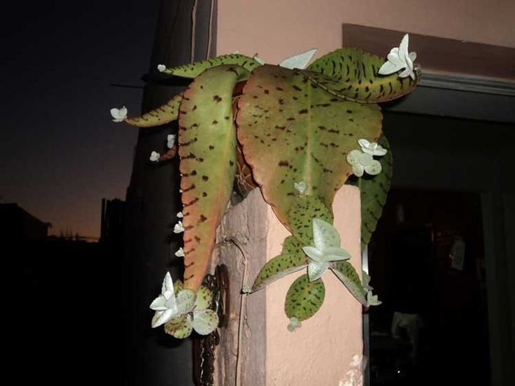 Kalanchoe gastonis-bonnieri Genus: Kalanchoe (kal-un-KOH-ee) (Info) Species: gastonis-bonnieri (gas-TON bon-nee-ER-ee) Sun Exposure: Full Sun Sun to Partial Shade Light Shade   Danger: All parts of plant are poisonous if ingested   Bloom Color: Coral/Apricot Orange   Bloom Time: Late Fall/Early Winter   Read more: http://davesgarden.com/guides/pf/go/54444/#ixzz36zmBzUwT