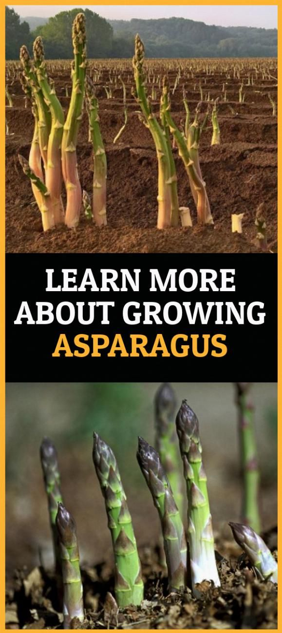 Pin By Cassandra Young On Knowledge In 2020 Growing Asparagus