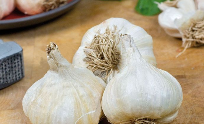 Garlic is one of the earliest plants ever cultivated by humanity dating back over 5000 years. It was worshipped by the Egyptians, chewed by Greek Olympian athletes, and thought to be essential to keep vampires at bay. It's also considered a medicinal herb as well as being an essential ingredient in many culinary dishes.