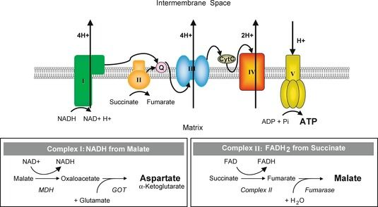 Schematic representation of the mitochondrial respiratory chain. After permeabilization of the cells with digitonin, the electron flow through the different complexes was measured. Complex I NADH reductase. Complex II succinate dehydrogenase. Complex III cytochrome c reductase. Complex IV cytochrome c oxidase. Complex V ATP synthase. MDH malate dehydrogenase. GOT glutamate-oxaloacetate transaminase