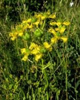 """For millennia, Ruta graveolens, more popularly known as """"Common Rue"""" or """"Herb of Grace"""" has held an important role in natural and folk medicinal wisdom."""