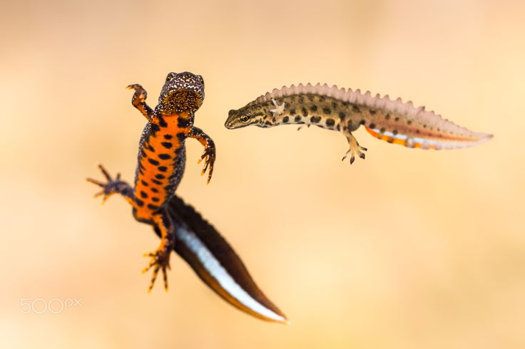 Boys - Male great crested newt (Triturus cristatus) and male smooth newt (Lissotriton vulgaris)