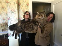 Now this is a BIG Maine Coon -Noticias                                                                                                                                                      More
