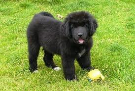 Newfoundland Puppy!