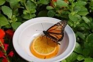 Attract Butterflies with Orange Slices   She's Crafty