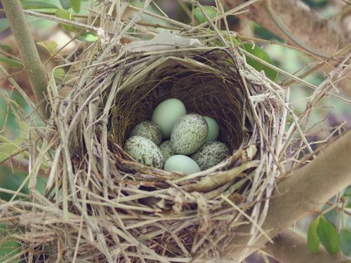 nest with eggs...we have nests in every bush at Hillwood: Birdnests, Sweet, Birds Nests, Color, Bird Nests