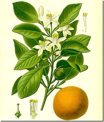 orange blossom botanical