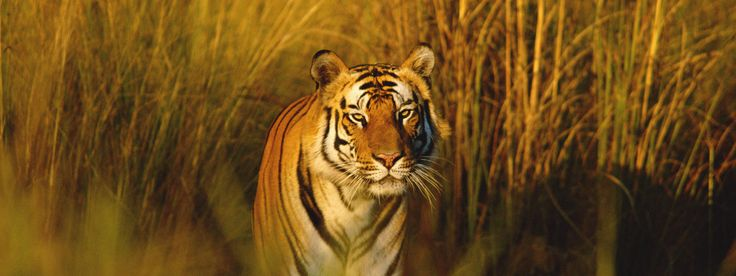 Life of Pi | Profile on the Bengal Tiger from the World Wildlife Federation