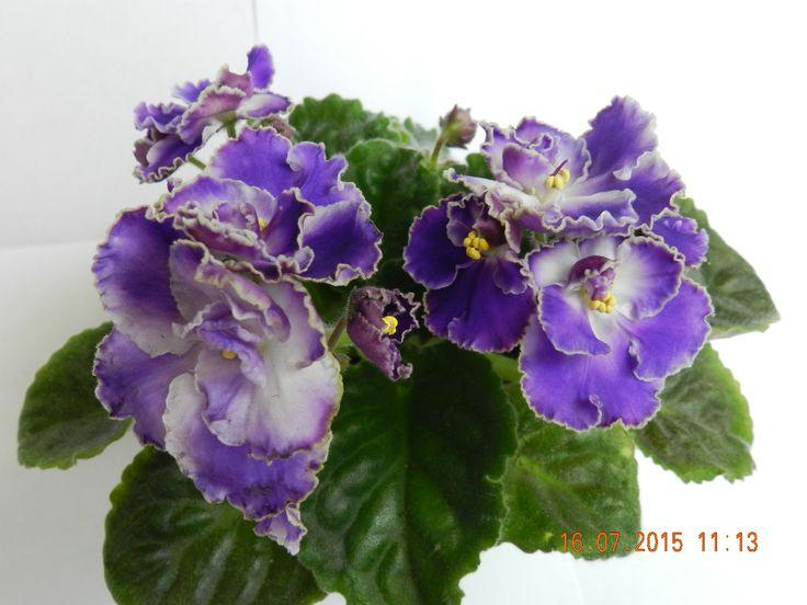 ЛЕ-Ночи АргентиныКрупные простые и п/м цветы темно сине-фиолетовые . По краям каждого лепестка широкая белая слегка гофрированная кайма. очень пышное цветение букетом над аккуратной розеткой. (Описание автора).