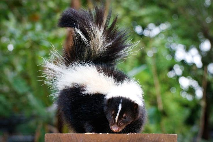 How Do You Get Skunk Smell Off A Dog