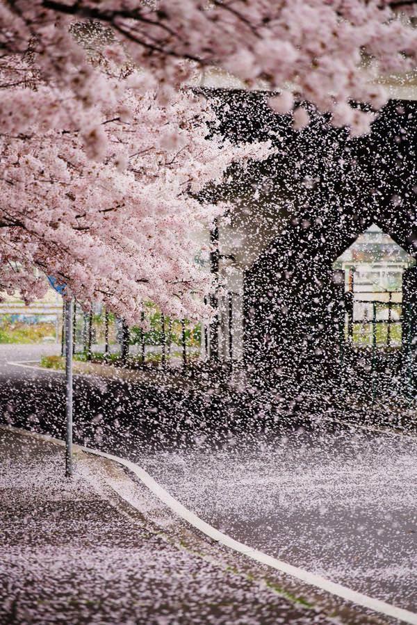春に出会いたい桜吹雪の画像。