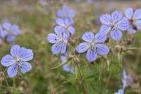 http://www.gardenersworld.com/plants/plant-finder/geranium-pratense/