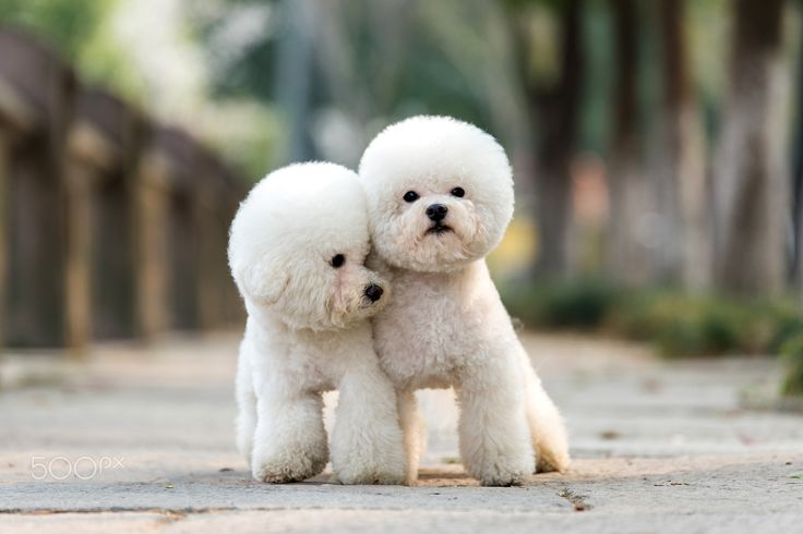 Bichons...we are best friends                                                                                                                                                                                 More