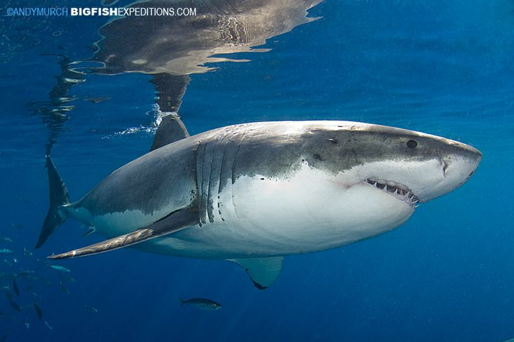 140 best images about big fish expeditions on pinterest for Guadalupe island fishing