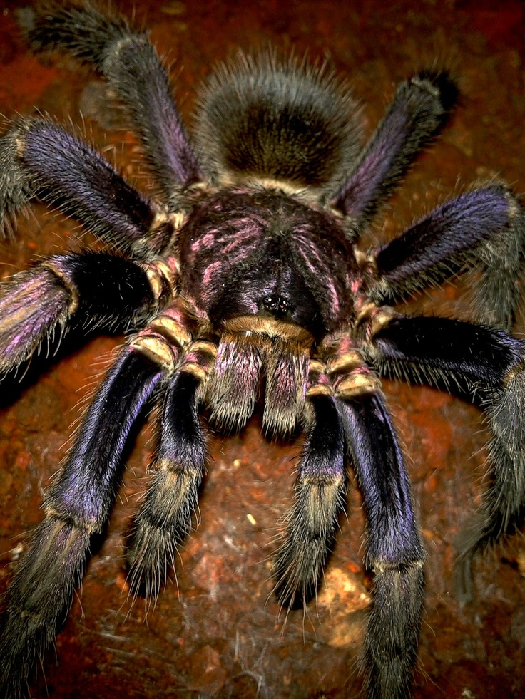 Phormictopus cancerides. Common name: Haitian Brown