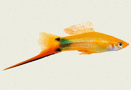 Swordtail Mickey Mouse Male