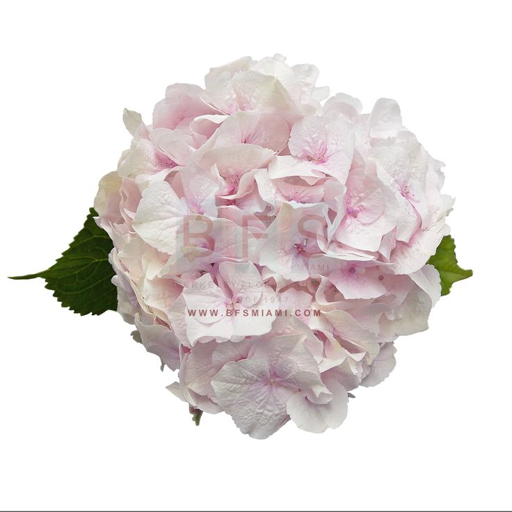 Light #Pink #Hydrangea, a globe shaped #flower formed by clusters of many smaller #flowers, is a true #lightpink #bloom. This flower represents #friendship, #devotion, and #understanding, so use these to decorate your best pals next big #birthday bash!  The #classicpink color of this flower will put a #femininetouch on the #event.