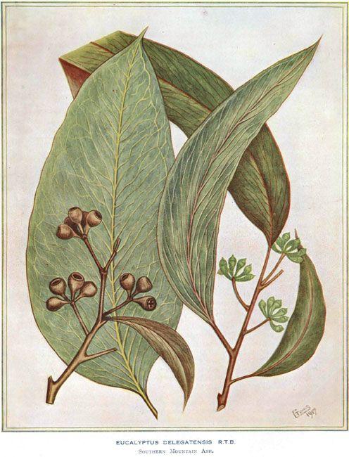 illustration: Eucalyptus delegatensis Southern Mountain Ash family MYRTACEAE artist: C. Toms ( - )