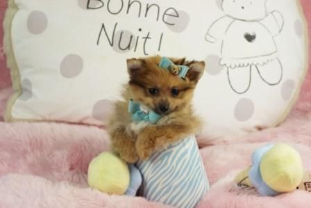 ♥☆♕Oh So Handsome Phillip The Pomeranian FOR SALE!♥☆♕  He Will Not Last! Looks Just Like Boo! CALL NOW! ►►►954-353-7864►►► www.teacuppuppiesstore.com  #pomeranian #pom #boo #boolookalike #boothepomeranian #toy #teacup #micro #pocketbook #teacuppuppies #teacuppuppiesstore #tiny #teacuppuppiesforsale #teacuppomeranian #teacuppom #small #little #florida #miami #fortlauderdale #bocaraton #westpalmbeach #southflorida #miamibeach #cute #adorable #puppy #puppiesforsale #puppylove #rare #unique