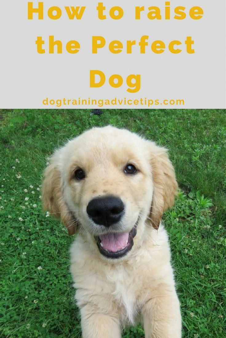How To Raise The Perfect Dog Dog Training Tips Dog Obedience
