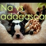 Madagascar Animals met a Boston Terrier Dog
