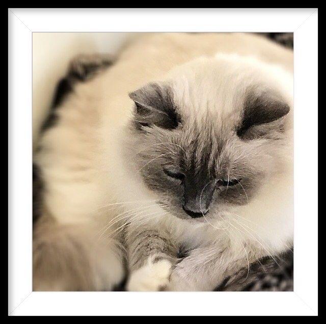 Oscar getting cosy. #ragdoll #catsofinstagram #autumnights
