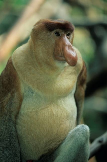 Proboscis Monkey, endangered animal. This guy is always sticking his nose where it does not belong.