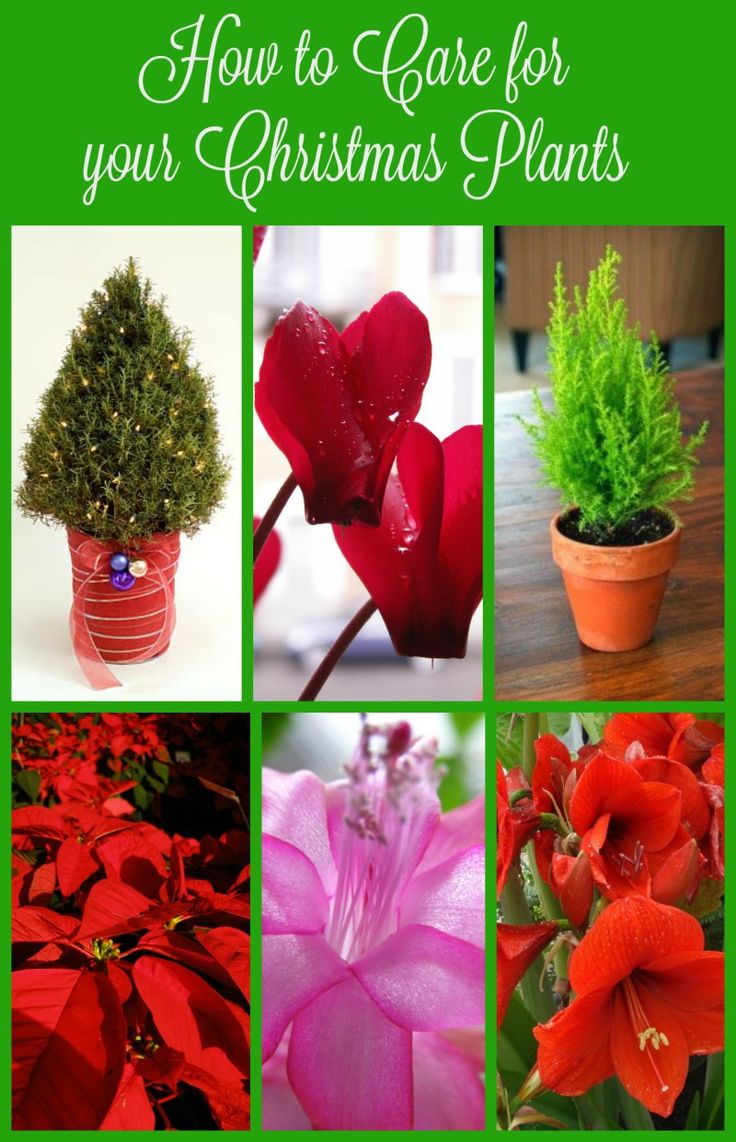 Amaryllis plant care instructions - How To Care For Your Christmas Plants