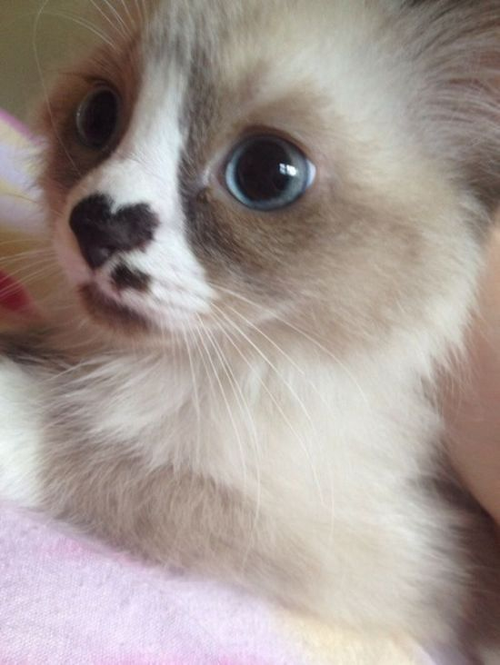 (KO) Impossibly adorable! This kitty wears his heart on his sleeve,,,,,,, uh, make that nose. Precious!